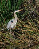 Great Blue Heron. Standing among the reeds in the wetlands Royalty Free Stock Photos