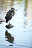 Great Blue Heron standing on a rock. Great Blue Heron standing on one leg on a rock, reflecting in the water Royalty Free Stock Photography