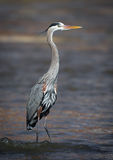 Great Blue Heron Standing On A Rock In Water Stock Photo