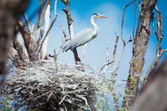 A Great Blue Heron Standing in it`s Nest Stock Images
