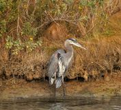 Great Blue Heron close up stock image