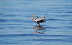 Great Blue Heron standing in shallow water Stock Image