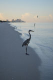Great Blue Heron Standing on the Shore at Dawn Royalty Free Stock Images