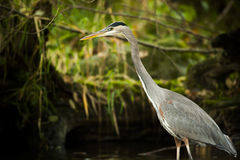 Great Blue Heron Standing In Swamp Royalty Free Stock Photos