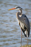 Great Blue Heron. Standing at water's edge royalty free stock photography