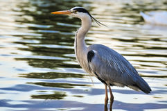 Great Blue Heron standing in water at sunset Royalty Free Stock Image