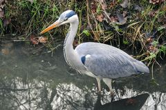 A Great blue heron is standing in the water, waiting for a prey. stock photos