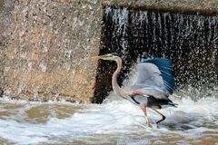 Great Blue Heron Standing at the Waterfall Royalty Free Stock Photography