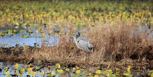 Great blue heron standing on a weedy island in a marsh Royalty Free Stock Photo