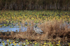 Great blue heron standing on a weedy island in a marsh Royalty Free Stock Photography
