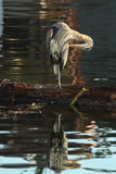 Great Blue Heron Stands On Log Hunting Royalty Free Stock Images
