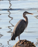 Great Blue Heron Stands On Log Hunting Royalty Free Stock Image
