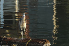 Great Blue Heron Stands On Log Hunting Stock Photo