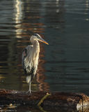 Great Blue Heron Stands On Log Hunting Stock Images
