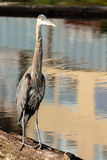 Great Blue Heron Stands On Log Hunting Royalty Free Stock Photo