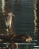 Great Blue Heron Stands On Log Hunting Stock Photos