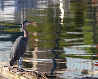 Great Blue Heron Stands On Log Hunting Royalty Free Stock Photography