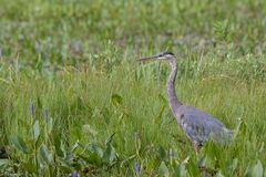 Great Blue Heron Stands in a Marsh. In the mist of the green wetland grasses and purple pickleweed, a great blue heron stands at attention stock photo