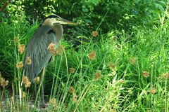 Great Blue Heron stands with neck curled amidst green foliage royalty free stock photos