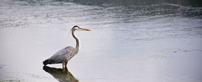 A Great Blue Heron Stands in a Pond Stock Photos