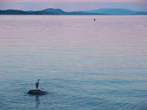 Great Blue Heron stands on the rock near the shore at the sunset Stock Photos