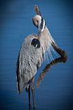 Great blue heron stands in shallow water while preening feathers Stock Photos