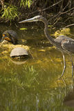 Great blue heron stands with two turtles in the Everglades. stock photo