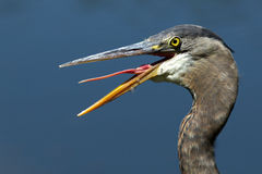 Great Blue Heron sticks out tongue Stock Images