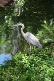 Great blue Heron stocking its next meal. Royalty Free Stock Image