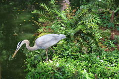 Great blue Heron stocking its next meal. Royalty Free Stock Photos