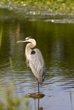 Great Blue Heron on a stone. Great Blue Heron standing on a stone Royalty Free Stock Photography