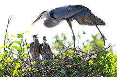 Free Great Blue Heron Stretching & Two Chicks In Nest Stock Photos - 39337143