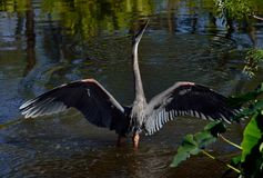 Great blue heron stretching wings in Florida stock photos