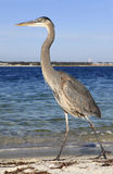 Great Blue Heron Strides Down the White Sand Beach Stock Image
