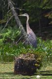 Great Blue Heron on a Stump. A profile great blue heron stands on a stump in a lake.The pastel gray feathers of the heron stand out against the downed trees and stock photos