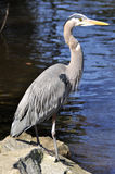 Great blue heron on a sunny day Royalty Free Stock Image