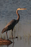 Great Blue Heron at Sunset. Great Blue Heron at the edge of the lake royalty free stock image