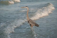 Great Blue Heron at sunset, Redington Shore, Florida, USA. Evening hunting of a Great Blue Heron, Gulf of Mexico, Florida, USA Royalty Free Stock Photo