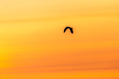 Great Blue Heron at Sunset. A silhouette of a Great blue heron flying in an orange sunset Stock Image