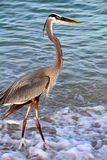 A Great Blue Heron in the Surf Royalty Free Stock Photos