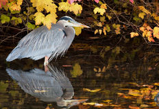 Great Blue Heron. Surrounded by fall colors at a local wetland pond Stock Photo