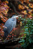 Great Blue Heron. Surrounded by fall colors at a local wetland pond Stock Photography