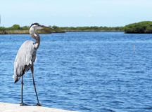 The Great Blue Heron surveying the landscape. Great blue heron looking out to the ocean Royalty Free Stock Photography