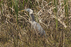 Great blue heron swallowing a big fish in central Florida. Royalty Free Stock Photography