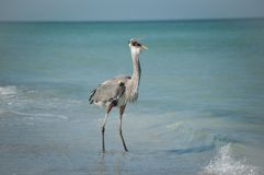 Great Blue Heron Swallowing a Fish on the Beach Royalty Free Stock Photos