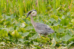 Great blue heron swallowing a fish Stock Photo