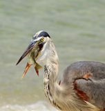 Great Blue Heron Swallowing Pin Fish Royalty Free Stock Photo