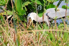 Great blue heron swallows fish. A great blue heron swallowing a large fish, the catch of the day, in a South Florida wetland Royalty Free Stock Images