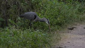 Great Blue Heron swallows a snake stock footage