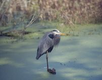 Great Blue Heron. In a swamp Royalty Free Stock Photos